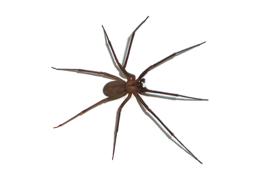 Brown Recluse Spider Pest Control And Image