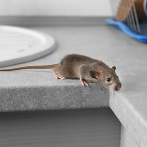 how to get rid of rodent invasion in your home