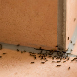 tried and true ways to get rid of ants