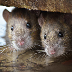 are you attracting rodents