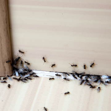 what to do about an ant invasion