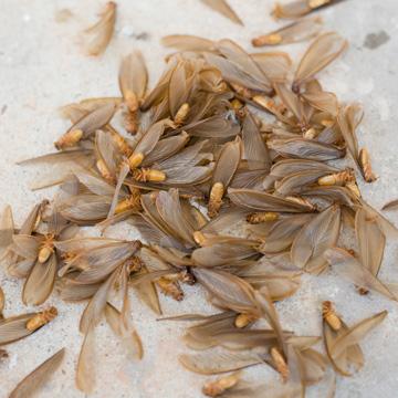 return of the termite