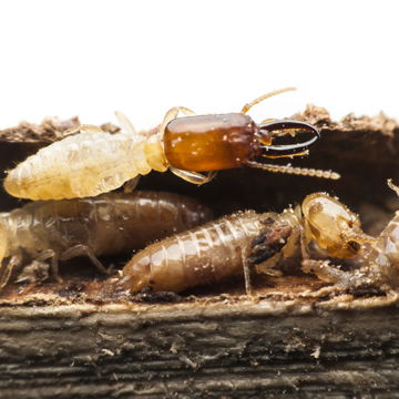 how tough is it to get rid of termites