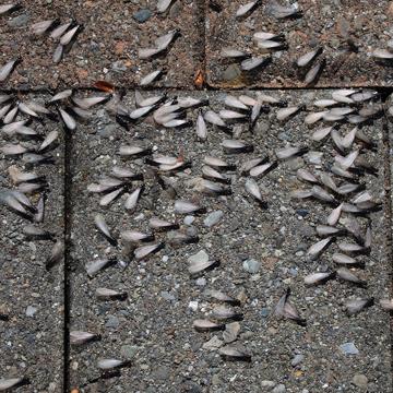 swarmers ants or termites