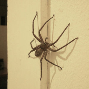 household spiders