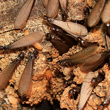 are termites active in summer