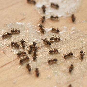 what to know about ants