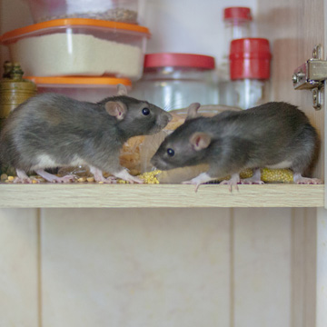 diseases from mice