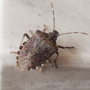 stink bugs in nashville