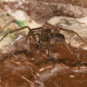 id brown recluse