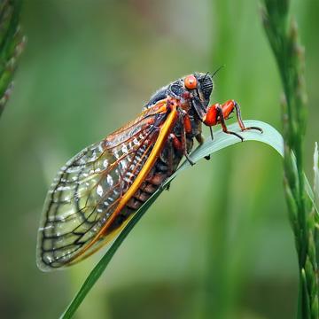 cicada storm