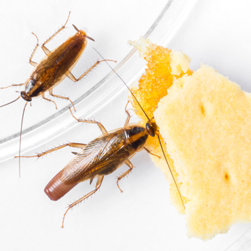 cockroaches in your home