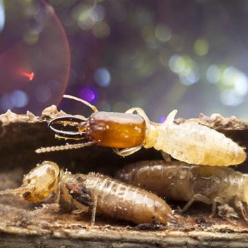termite season