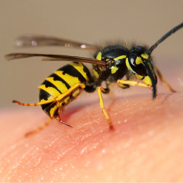 are wasp dangerous