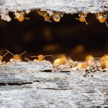 how long are termites a problem