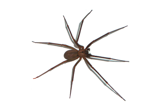 brown recluse spiders nashville