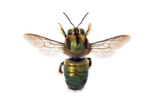 Carpenter Bees Nashville TN