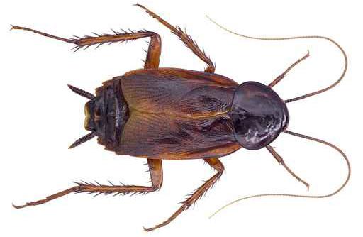 oriental cockroaches nashville