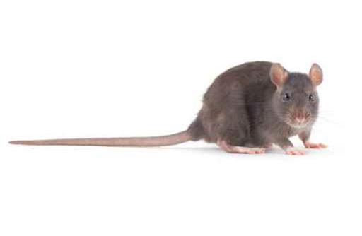 rats control nashville