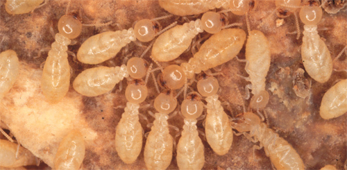 Termite Treatment Nashville
